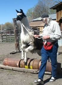 Burns Llama Trialblazers ranch visit is a hands-on experience