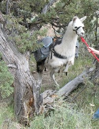 Burns Llama Trailblazers trains you and your llama for backcountry packing