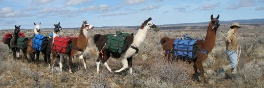 BLT pack llamas working in a string